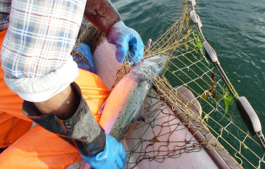 Laksefiske med garn